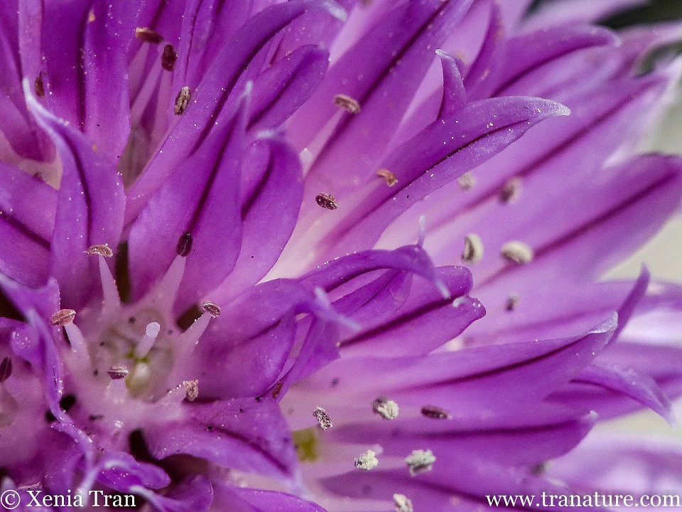 macro shot of a chive blossom