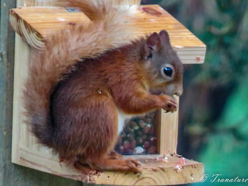 a red squirrel eating nuts on a squirrel feeder