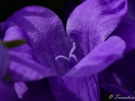 macro shot of a purple bellflower