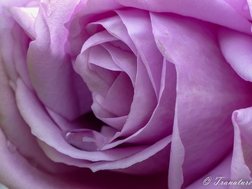 macro shot of the centre of a lilac rose with a rain drop