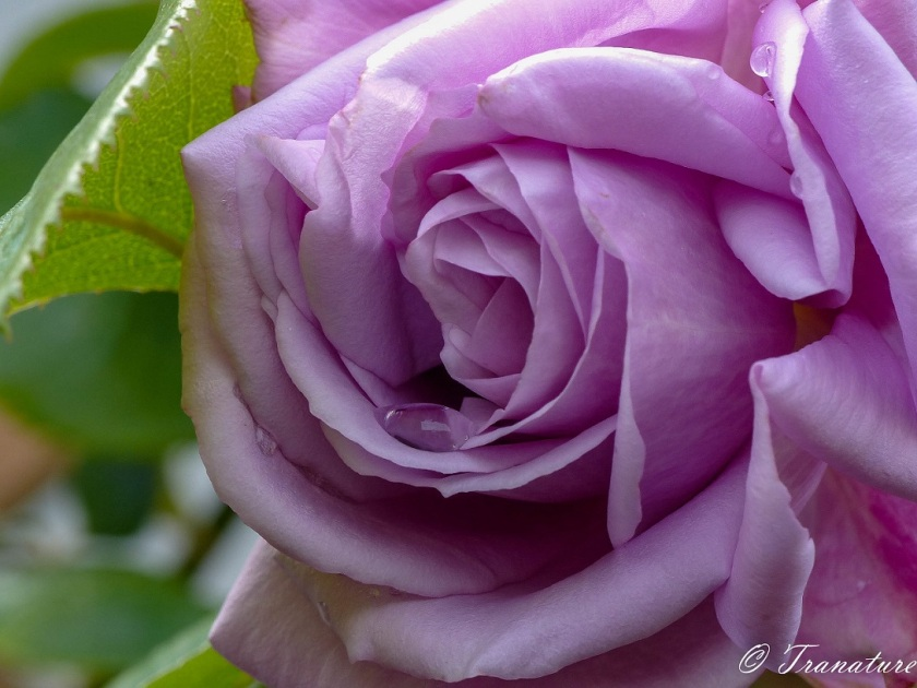 macro shot of lilac rose with a rain drop and green leaf