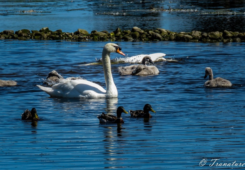 a swan family with cygnets, the cob has his head and neck underwater