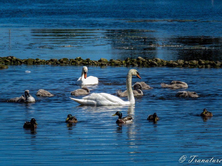 swan family with seven feeding cygnets and five mallard ducks