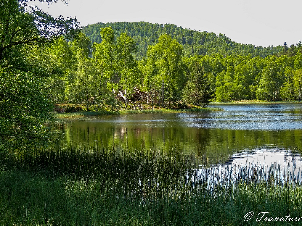 Lochan Mor with reeds in the foreground and lush green birch and pine-clad hills across the water