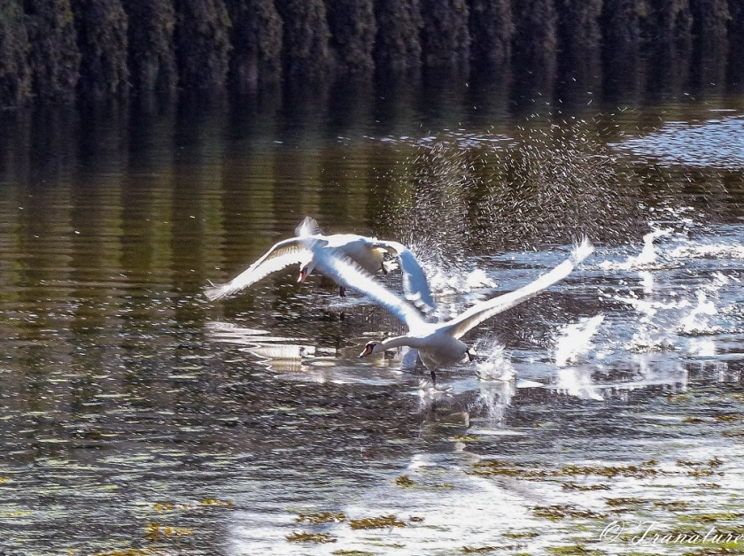 a male swan (cob) chasing an intruder swan out of the river