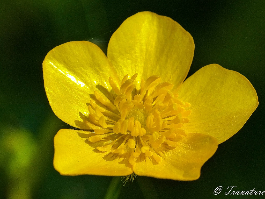 macro image of a buttercup in sunlight