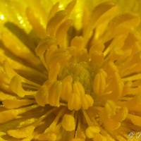 Haiku: Buttercup
