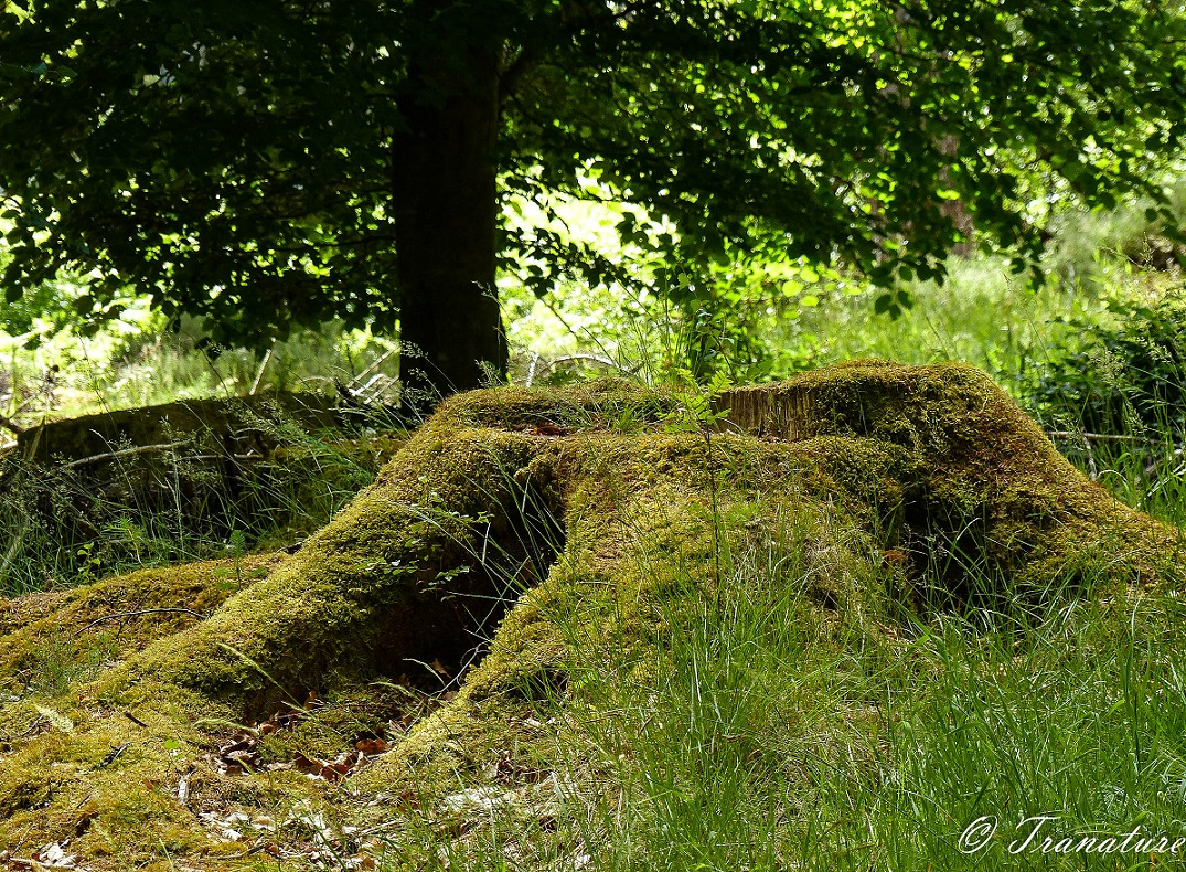a tree stump in a forest covered in moss with grass and ferns