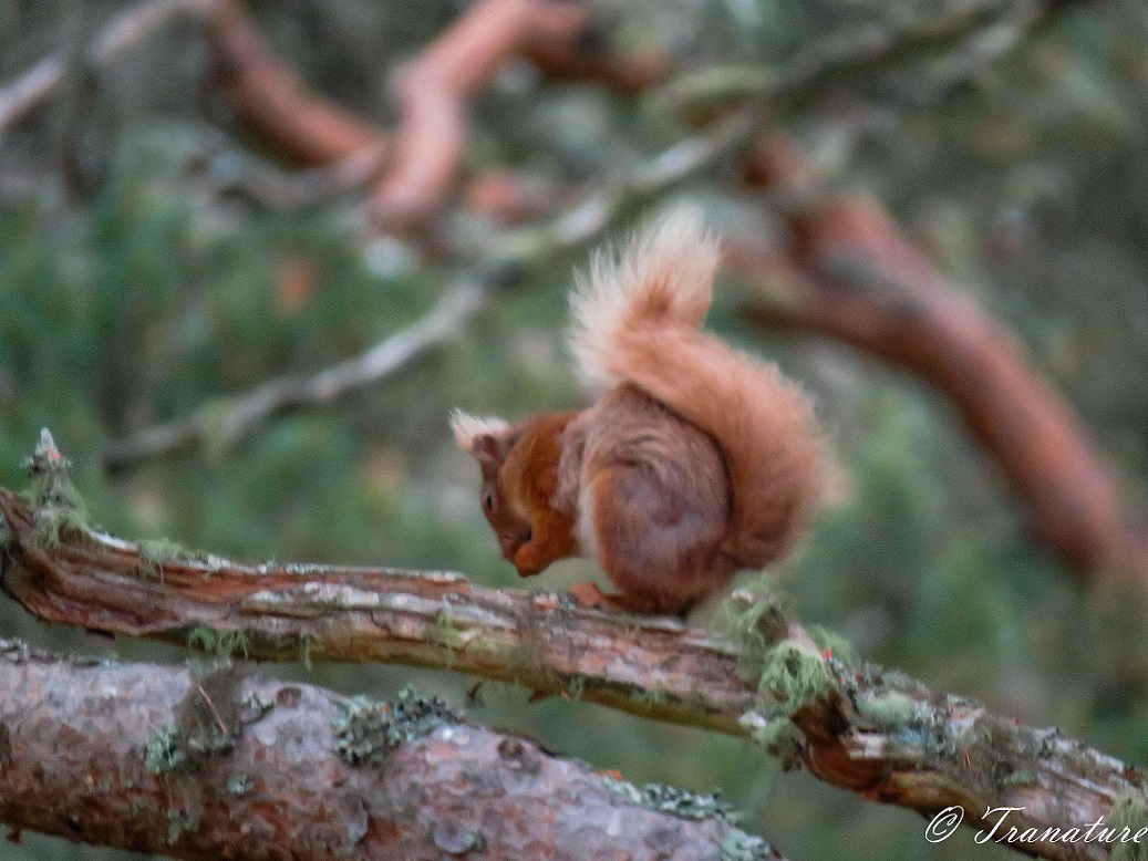 red squirrel eating a nut in a pine tree