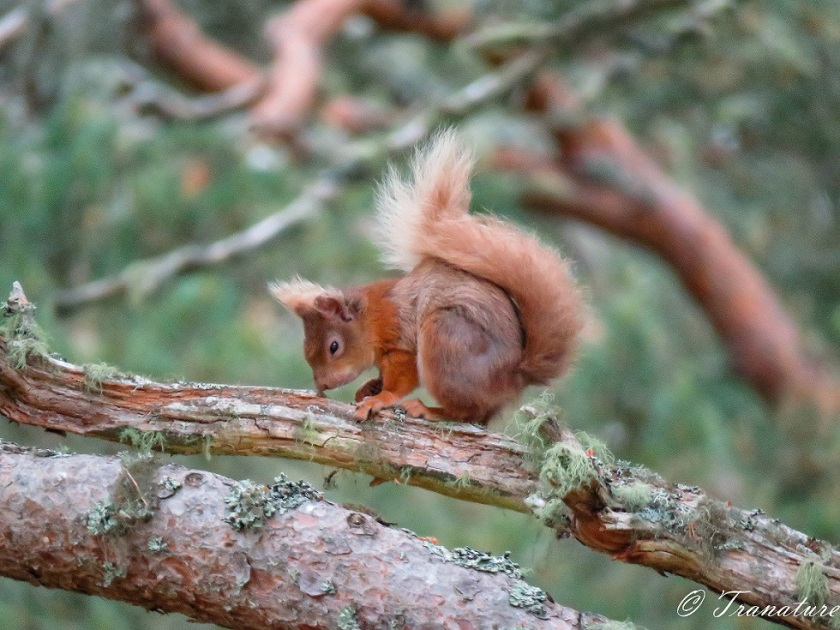 red squirrel sitting on a branch in a pine tree