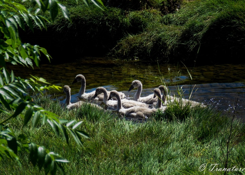 seven cygnets swimming down the river