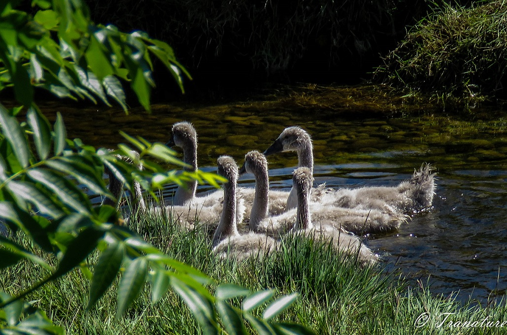 seven cygnets in a circle on the river close to the grassy bank