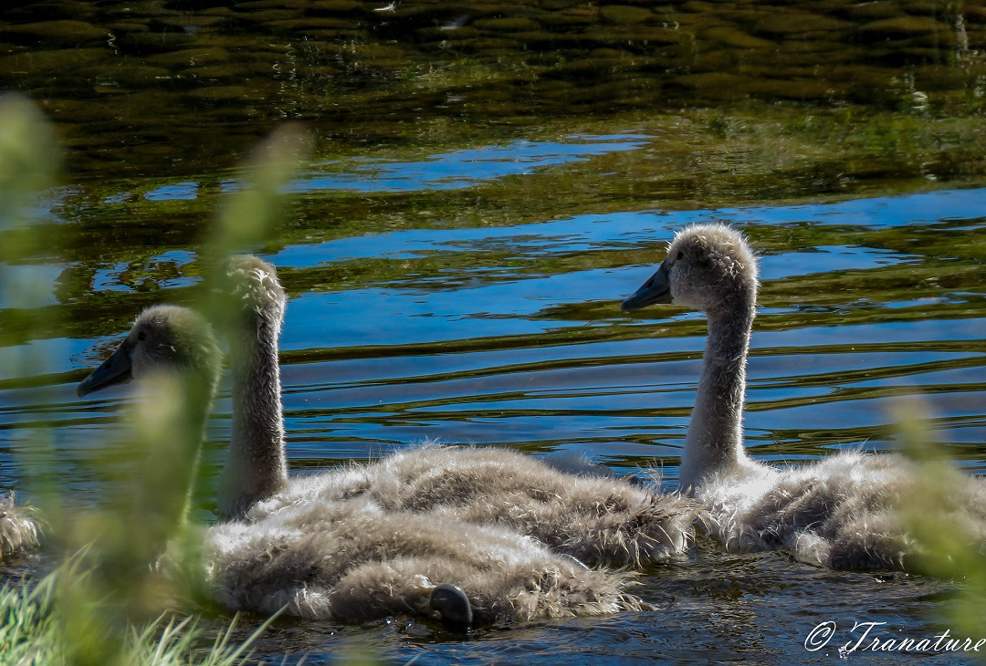 close up of three cygnets swimming in the river
