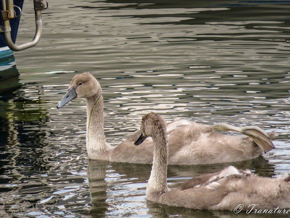 two cygnets swimming in the harbour by a small boat