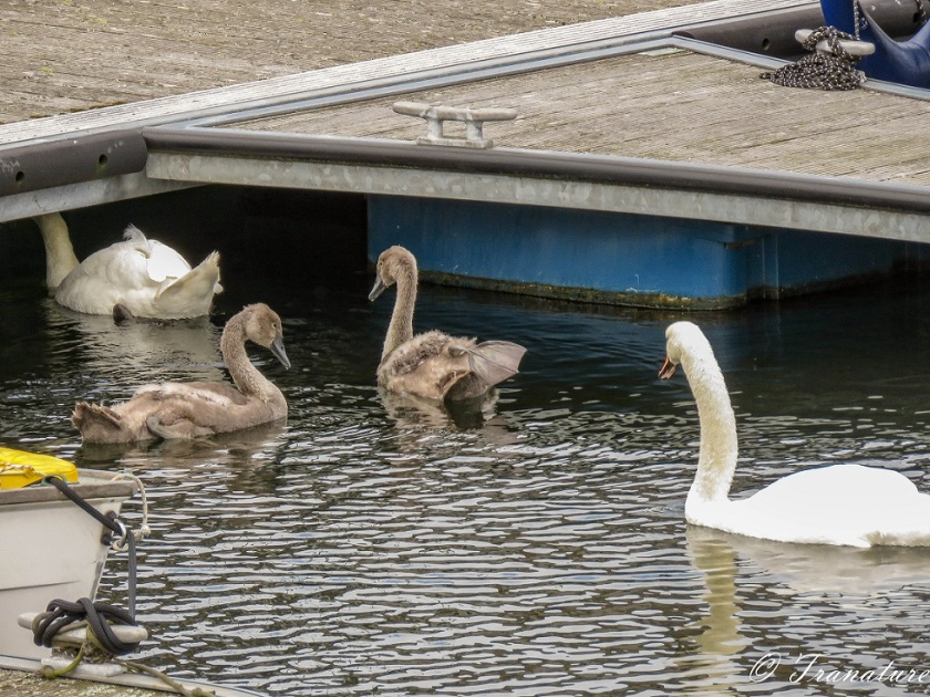 swan parents with two cygnets swimming between boats and plantoons