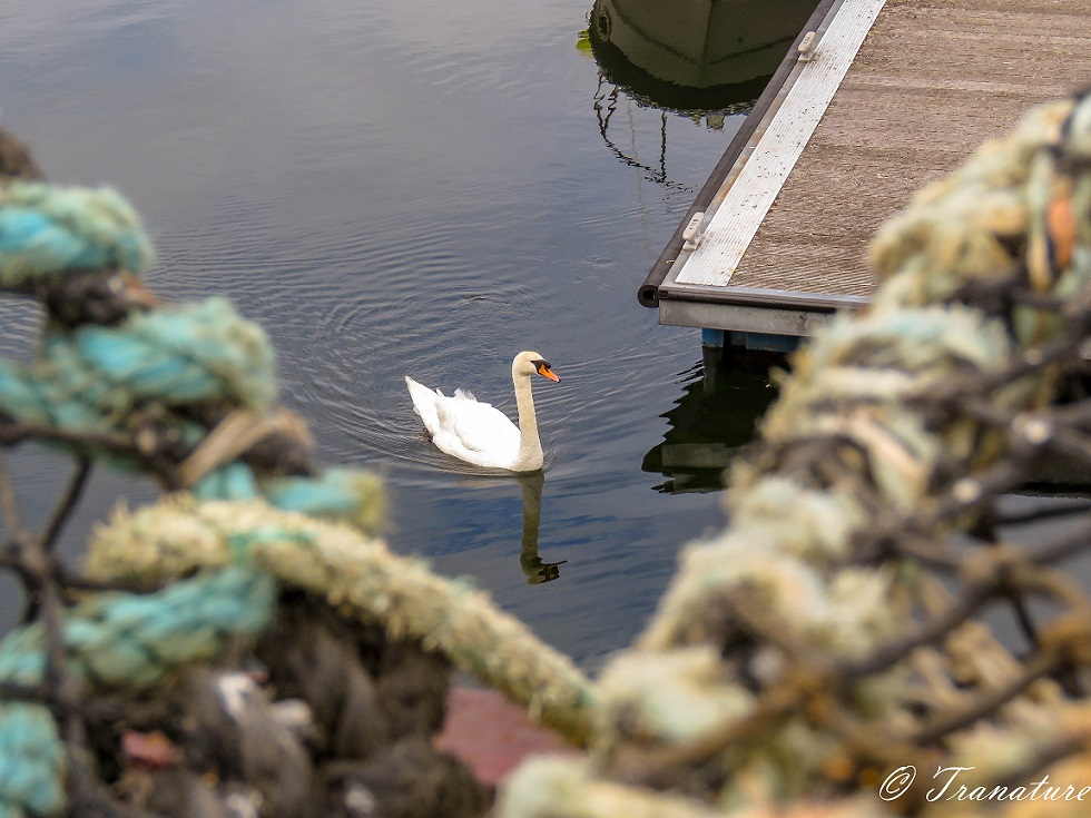 a swan glides pas a pontoon and boats (seen only in water reflections) in the harbour