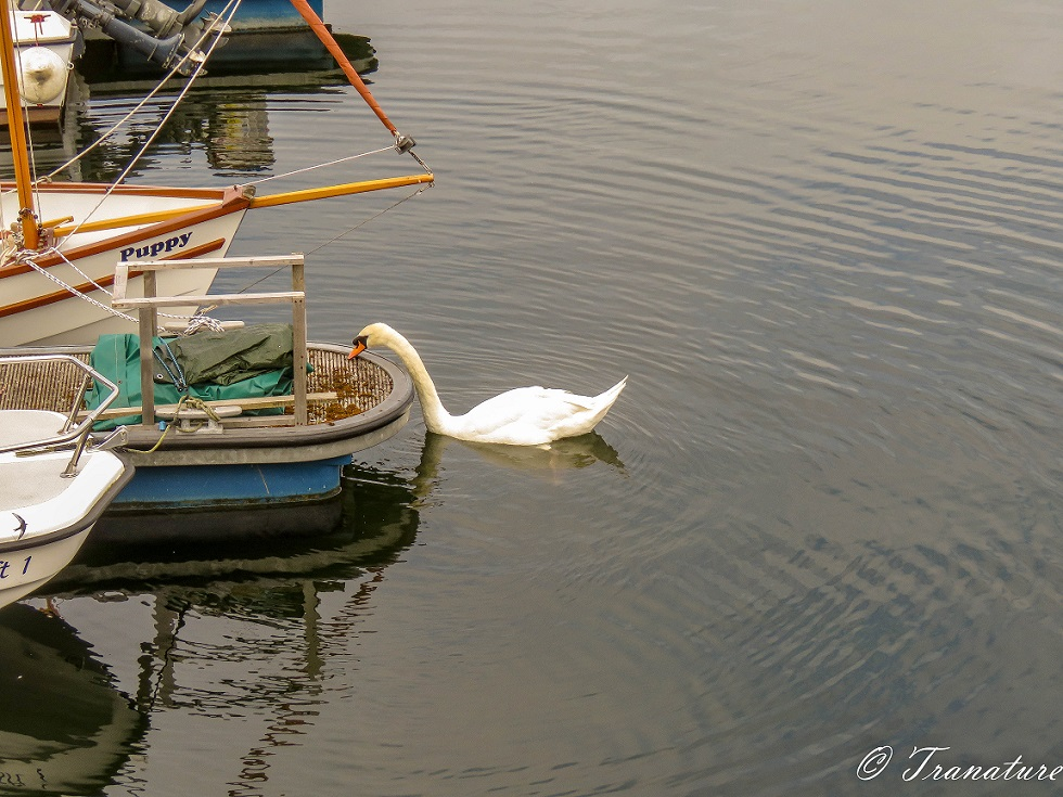 a swan leans over to inspect inside a small fishing boat in the harbour