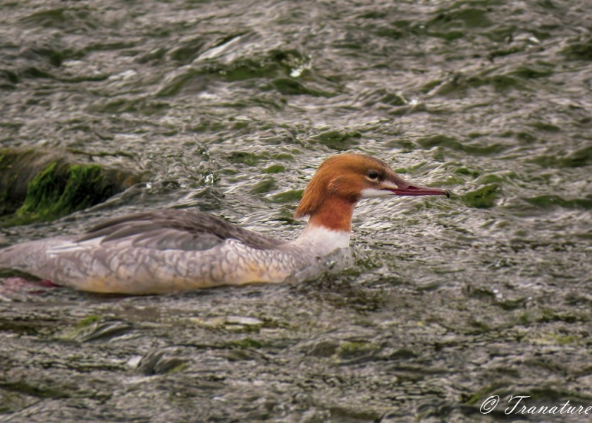 a female goosander swimming against the flow in a tidal river