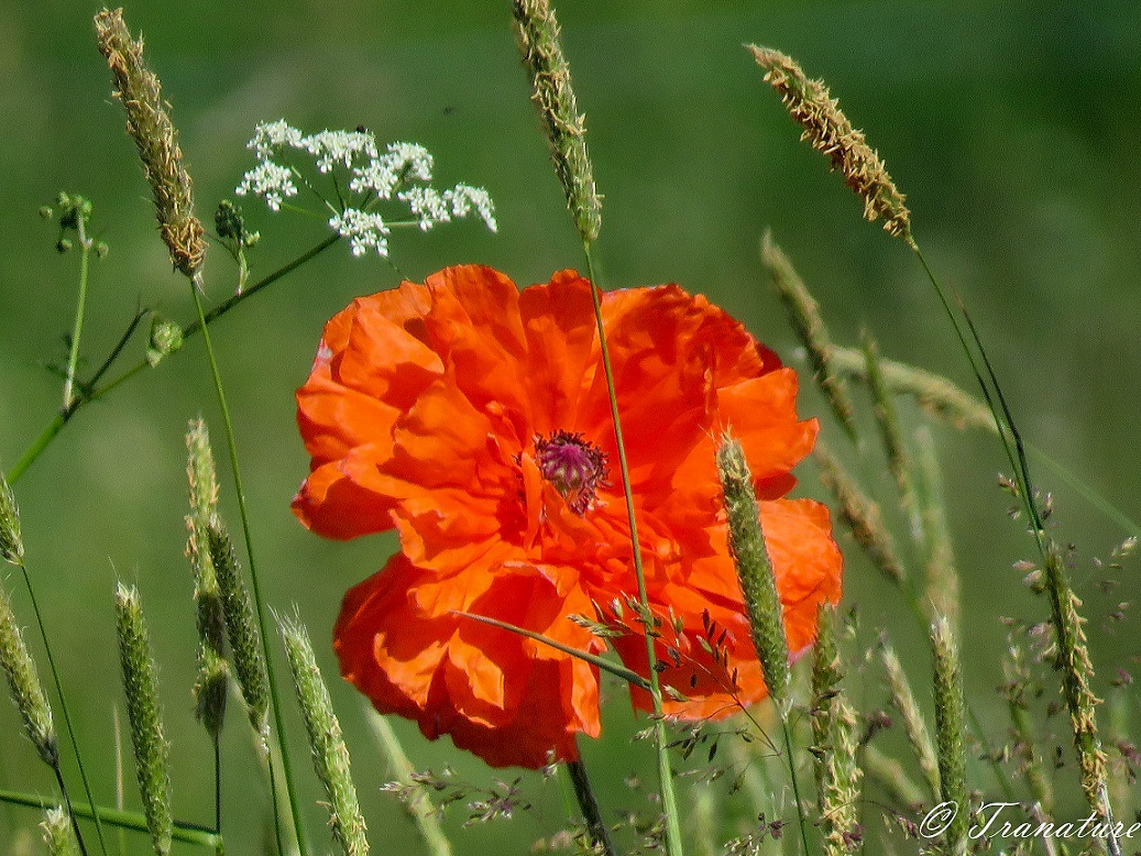 close up of a single orange poppy flower in a field with long grass and wildflowers