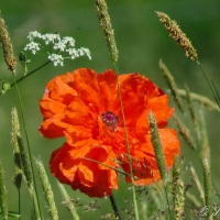 Haiku: Orange Poppy