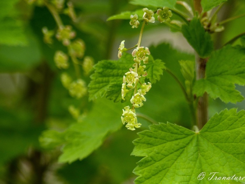 red currant blossom in Spring with green leaves