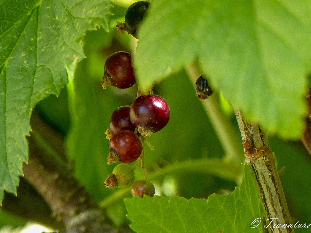 close up of cluster of green blackcurrant turning to red