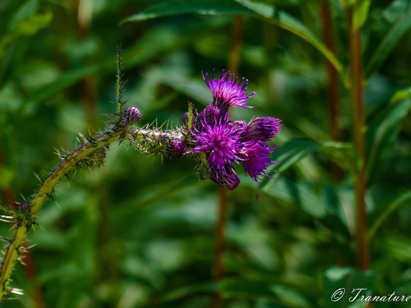 close up of a purple marsh thistle with a backdrop of large green stems and leaves