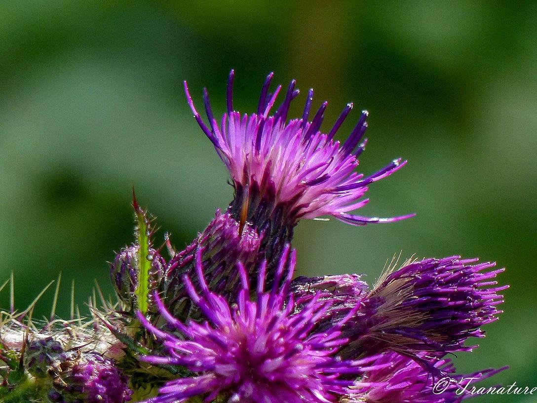 macro shot of a purple marsh thistle