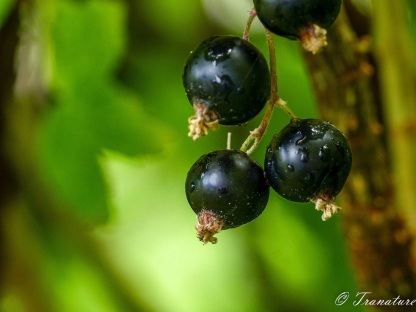 close up of small ripe blackcurrant cluster