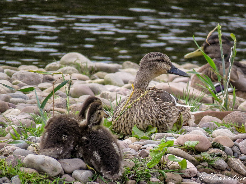 two ducklings snuggling together on shingle beside a female mallard duck