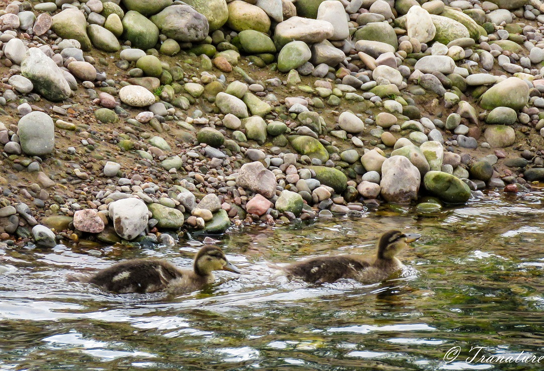 two ducklings swimming in the river