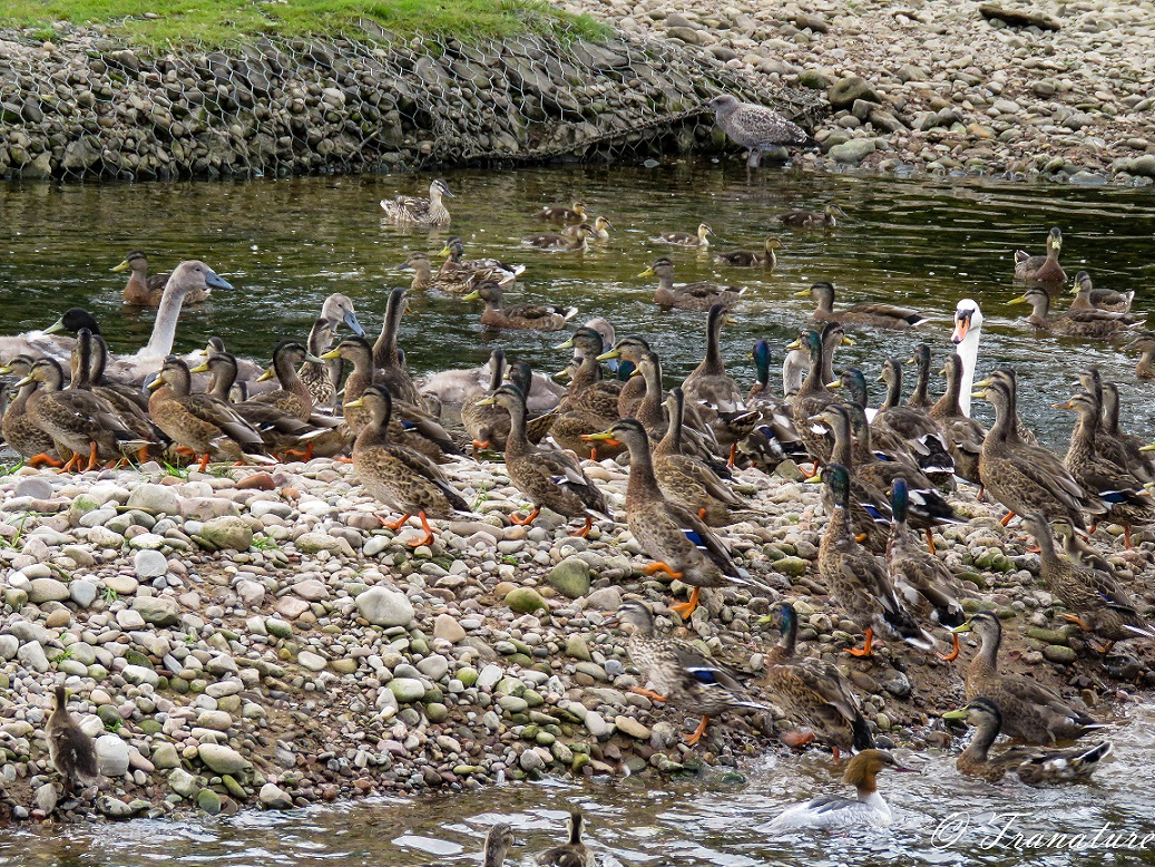 ducks, ducklings on a tidal island in the river with a goosander, swans and cygnets swimming by