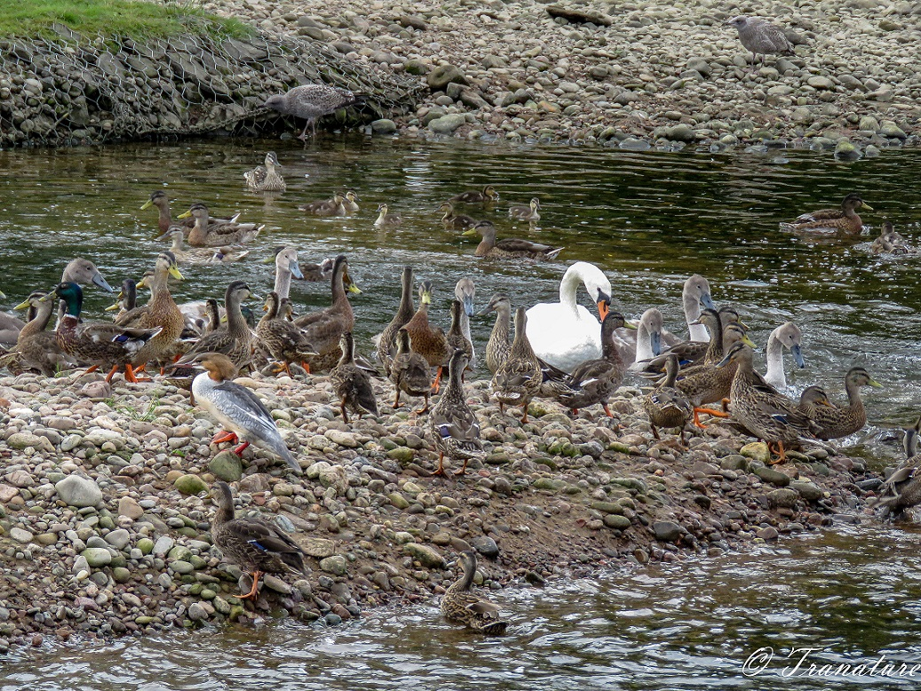 ducks, ducklings and a goosander on a tidal island in the river with swans and cygnets swimming by