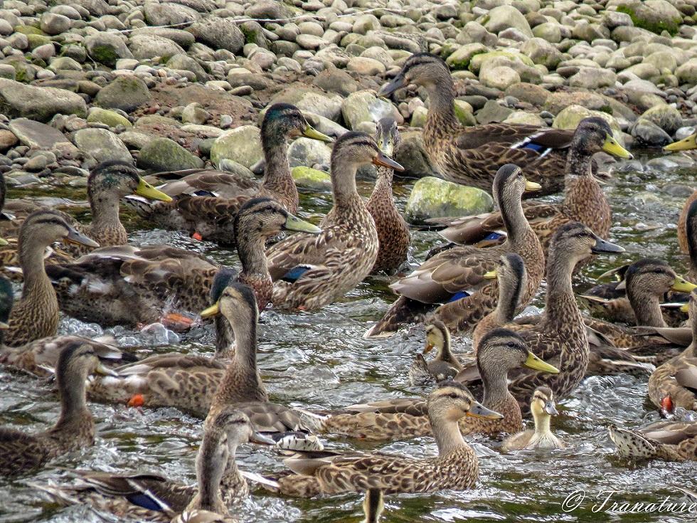 mallard ducks and ducklings enjoying a splash in the river