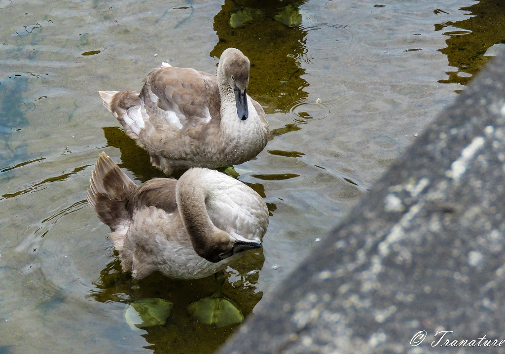 two cygnets standing in shallow water near the harbour wall
