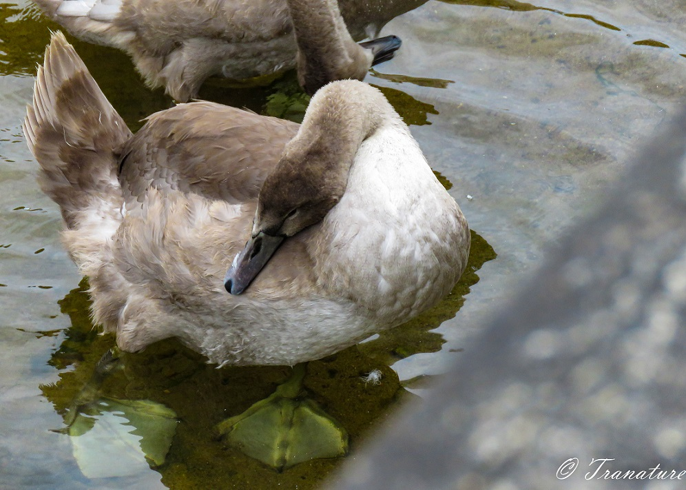 a cygnet pruning her feathers while standing in the shallows