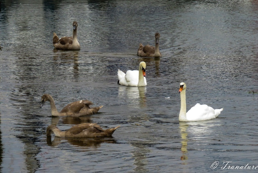 two swans and four of their seven cygnets in the harbour