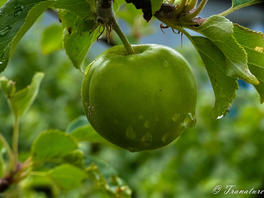 close up of a green apple with raindrops