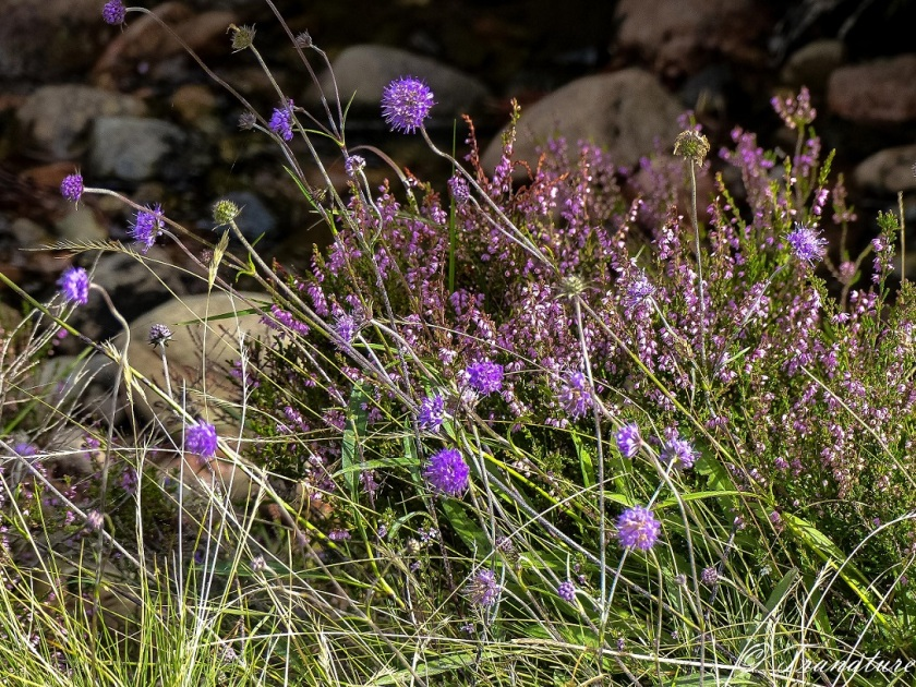 purple heather and scabiosa in bloom among long grass and stones
