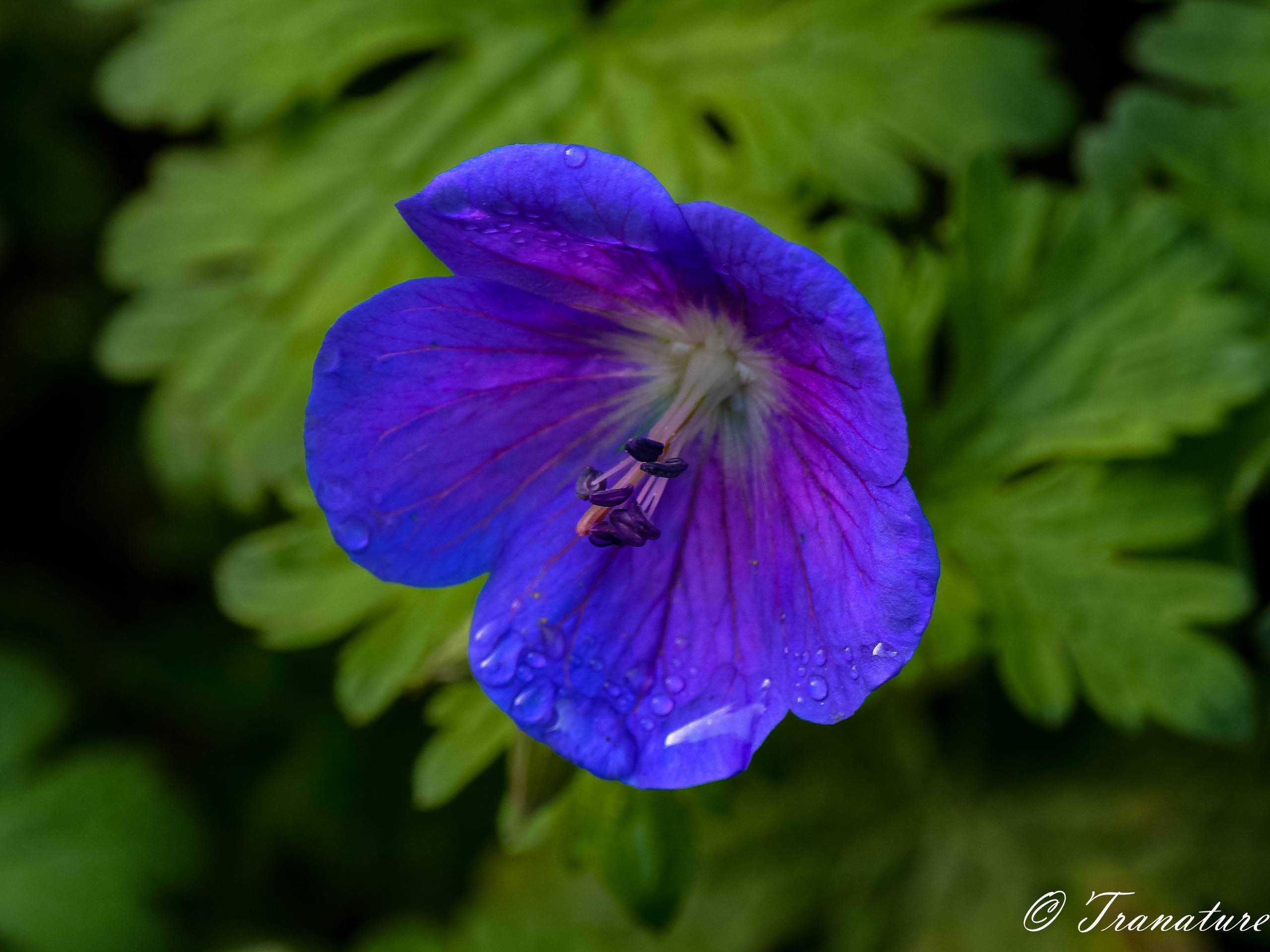 macro shot of a blue geranium flower with raindrops