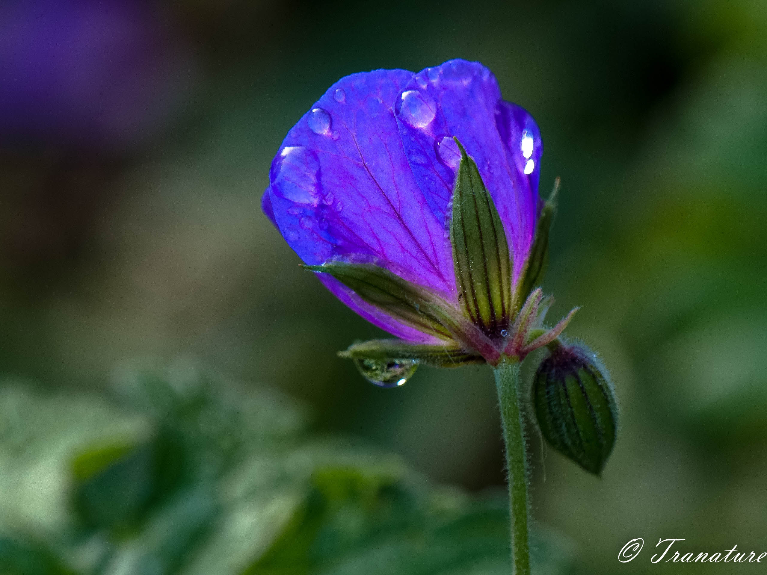 macro shot of a blue geranium in bud with raindrops