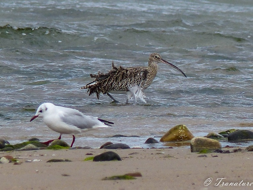 a curlew with feathers blown by the wind striding through shallows beside a seagull