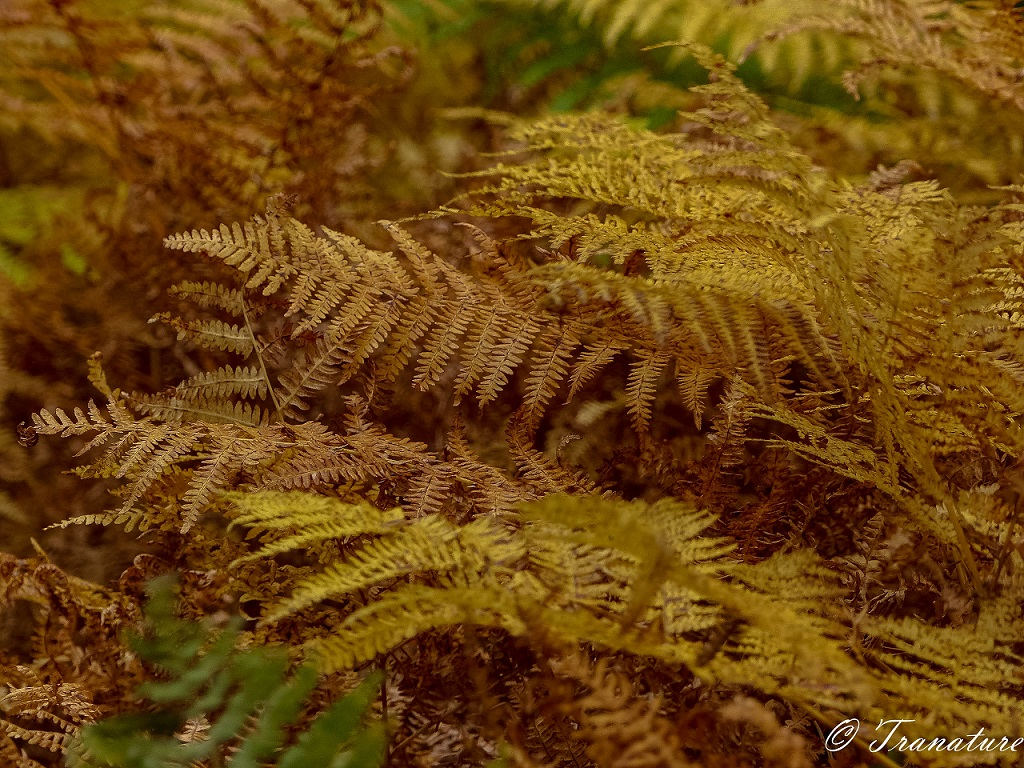 close up shot of golden ferns with a shimmer of green still showing
