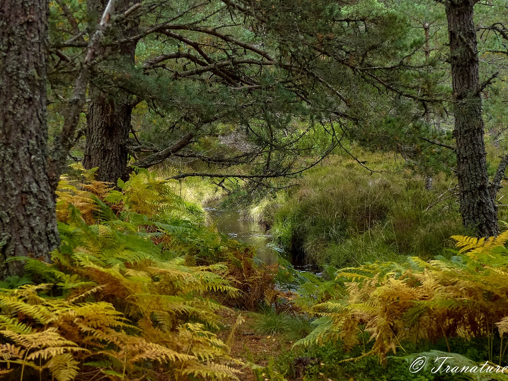 a stream flowing through the glen below pine trees, heather and ferns
