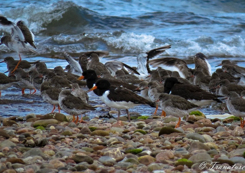 adult and young oystercatchers on shingle