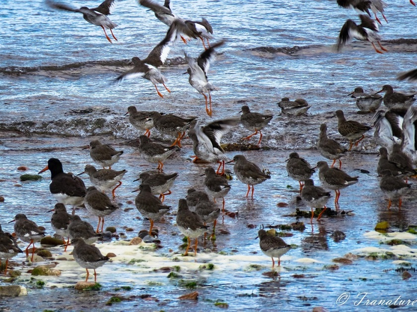 young oystercatchers taking flight as the tide covers the shingle