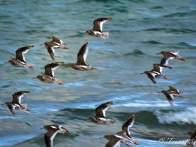 young oystercatchers flying above the waves