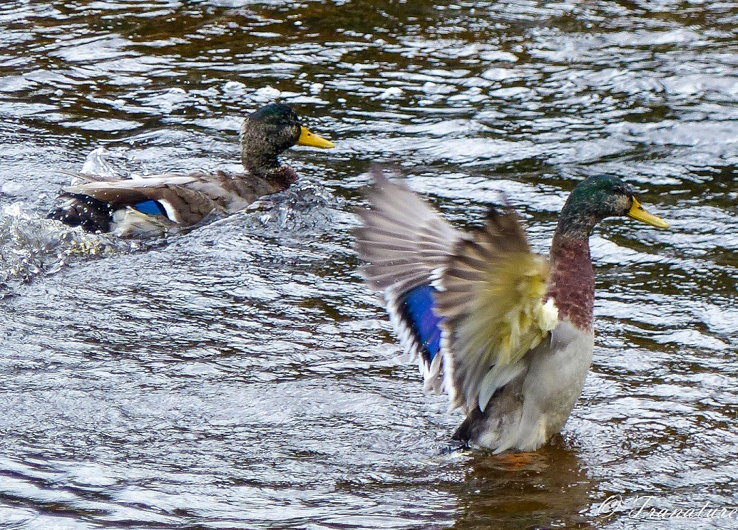 two male mallard duck splashing in the river, one with outstretched wings
