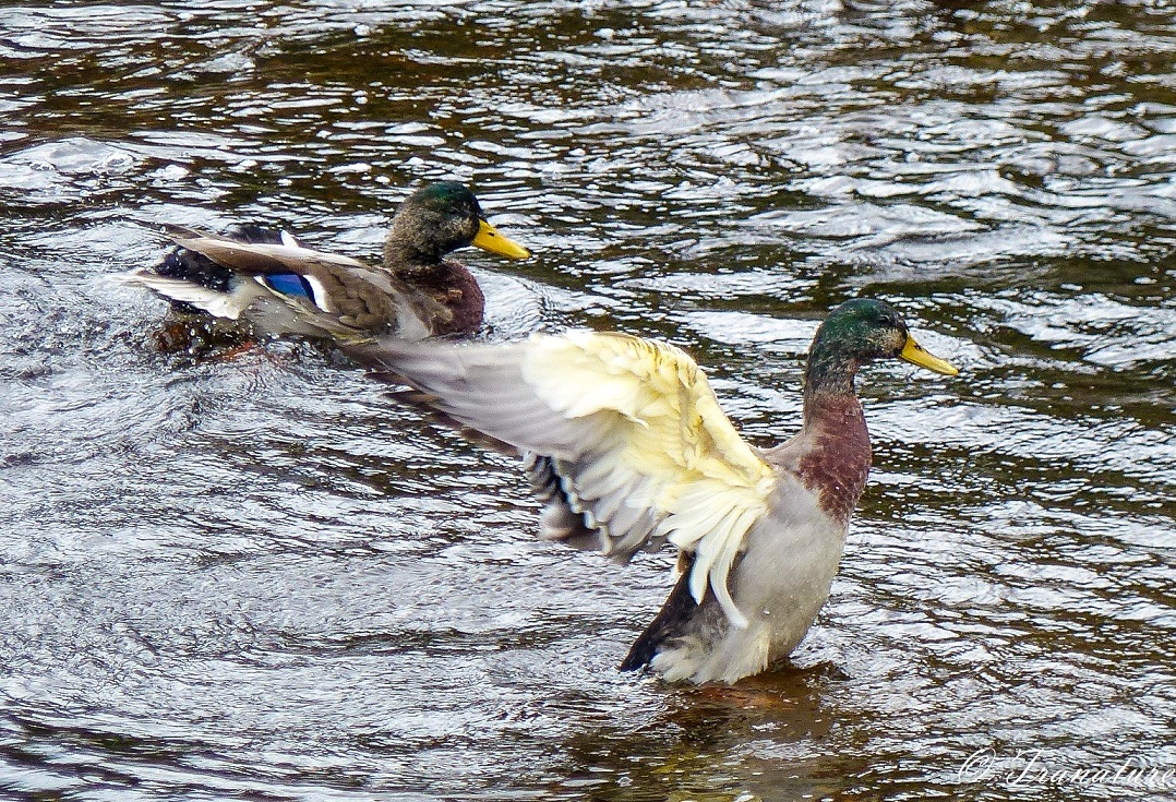two male mallard ducks splashing in the river, one with outstretched wings