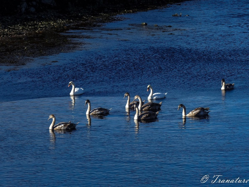 swan parents swimming down the river with seven fully grown cygnets
